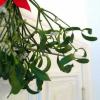 Alte Tradition: Mistelzweige als Weihnachtsdeko